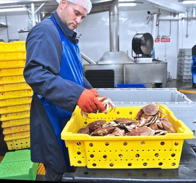 jonah-crab-processing-40